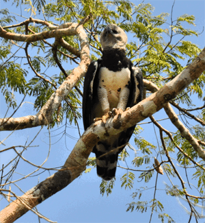 Harpy-Eagle-Amazon-Birds-Aqua-Expeditions