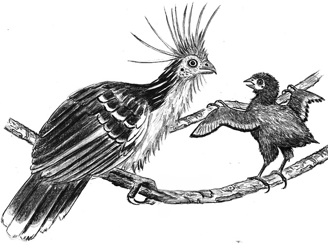 Hoatzin wing-claw illustration